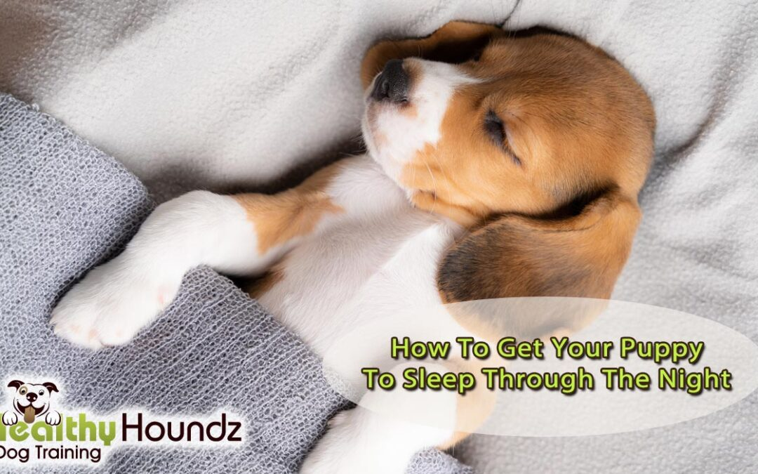 Beagle puppy in bed