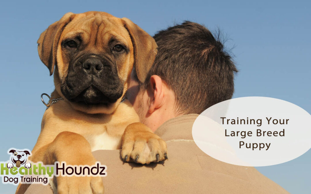 Training Your Large Breed Puppy To Be A Well-Mannered Family Dog